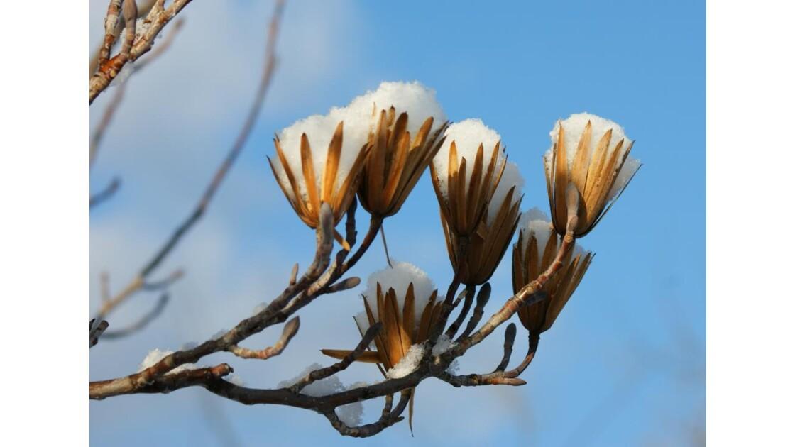 Tulipier en fleurs de neige ....