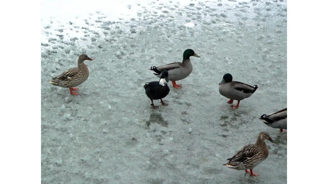 Canards sur glace