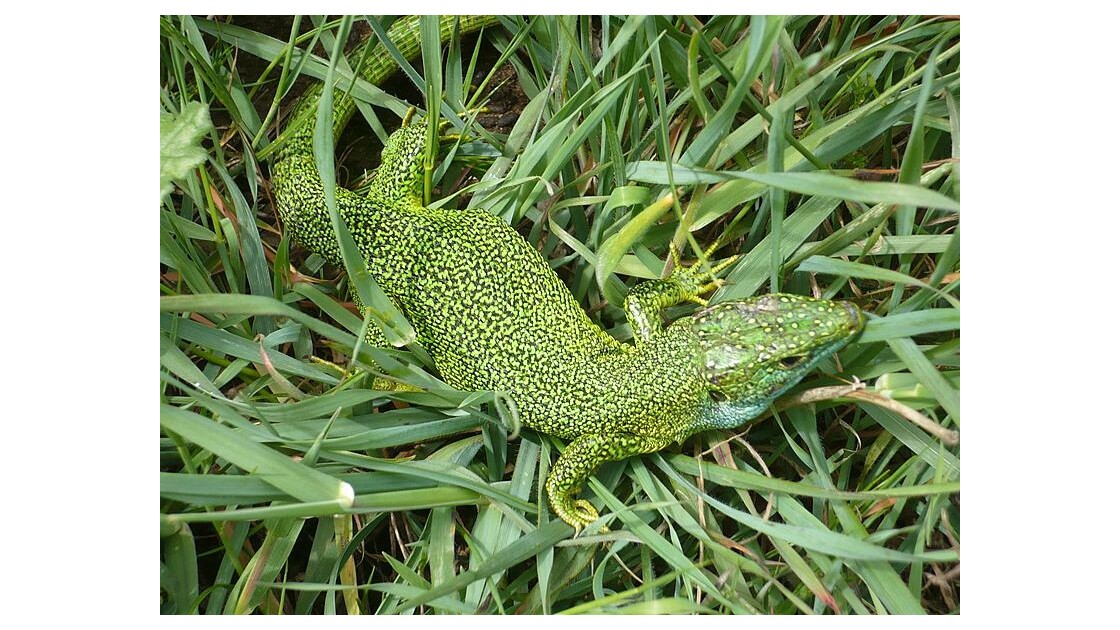 les Lézards vert du Cap Groin