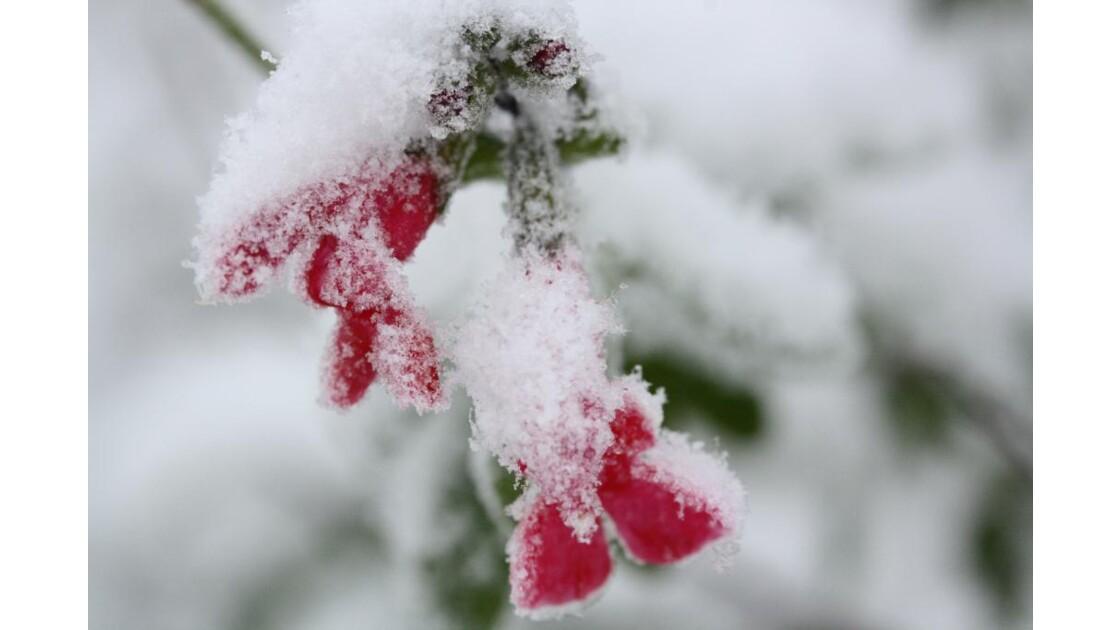 fleur de sauge sous la neige