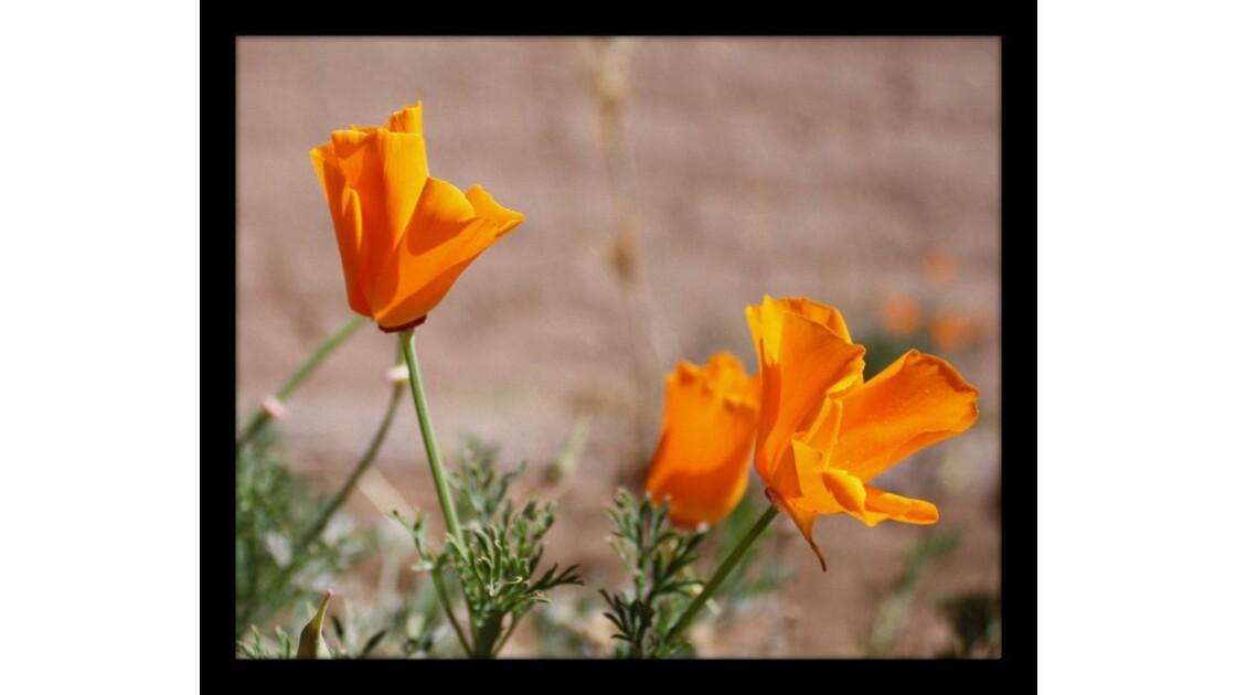 fleurs d'escholtzia