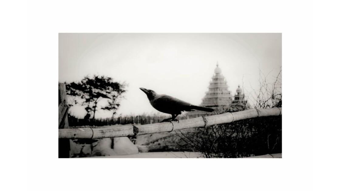 corbeau_mamallapuram__R_solution_de_l__