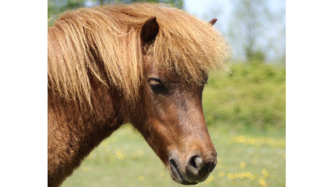poney_roux.jpg