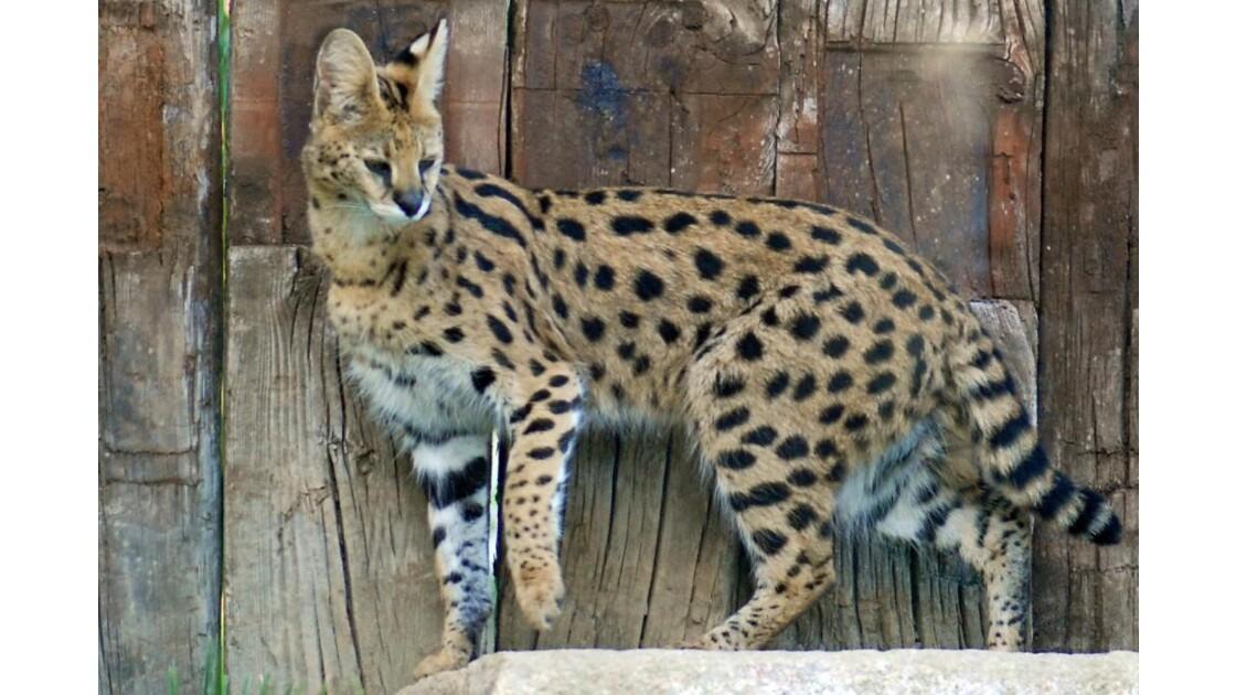 Serval - 2010 10 05 (278)