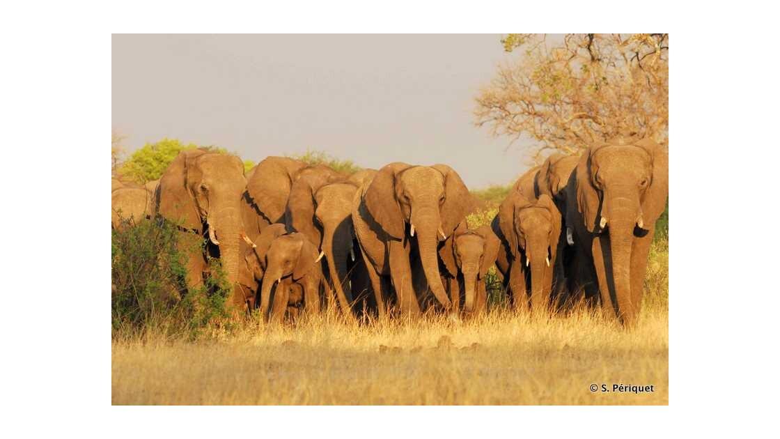 Troupeu d'éléphants en fin de journée