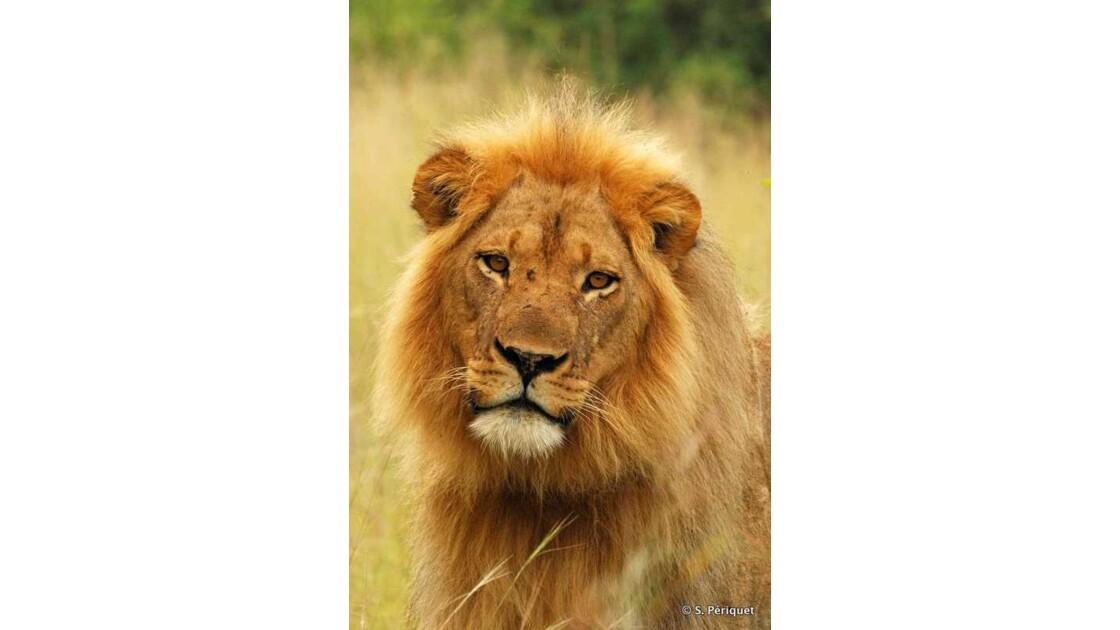 Portrati de lion-Jericho