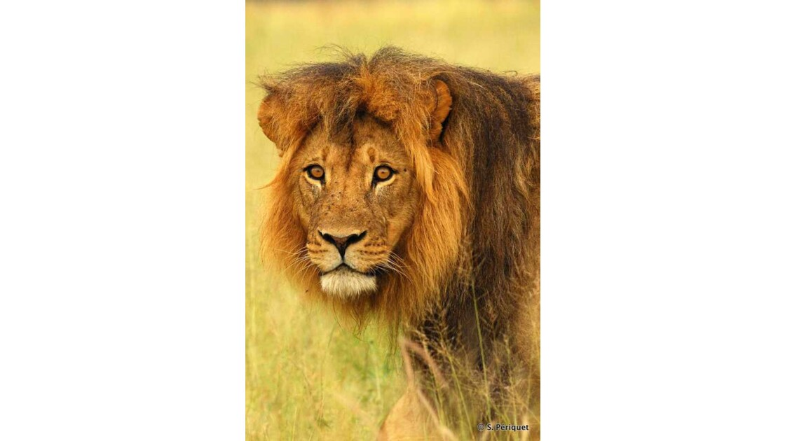 Portrati de lion-Judah