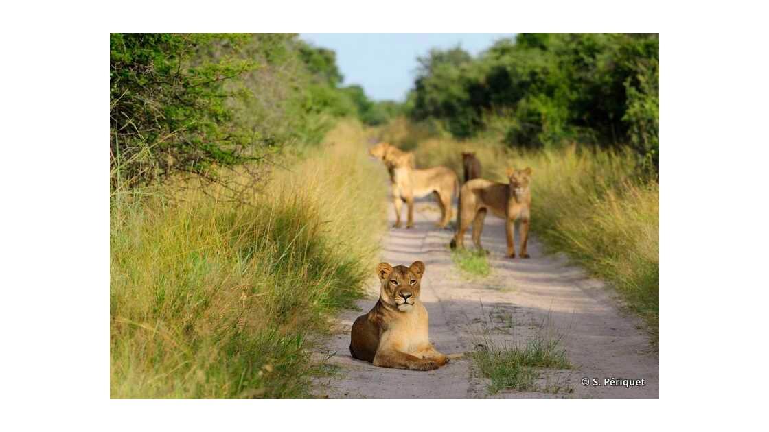 Troupe de lions