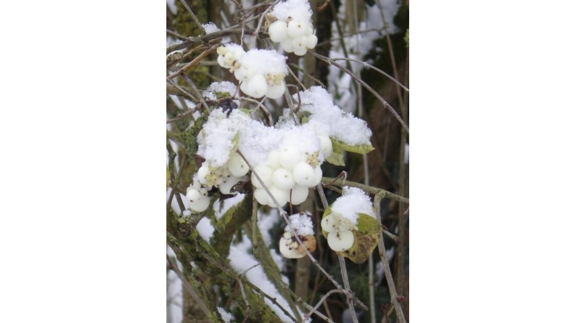 Perles sous la neige