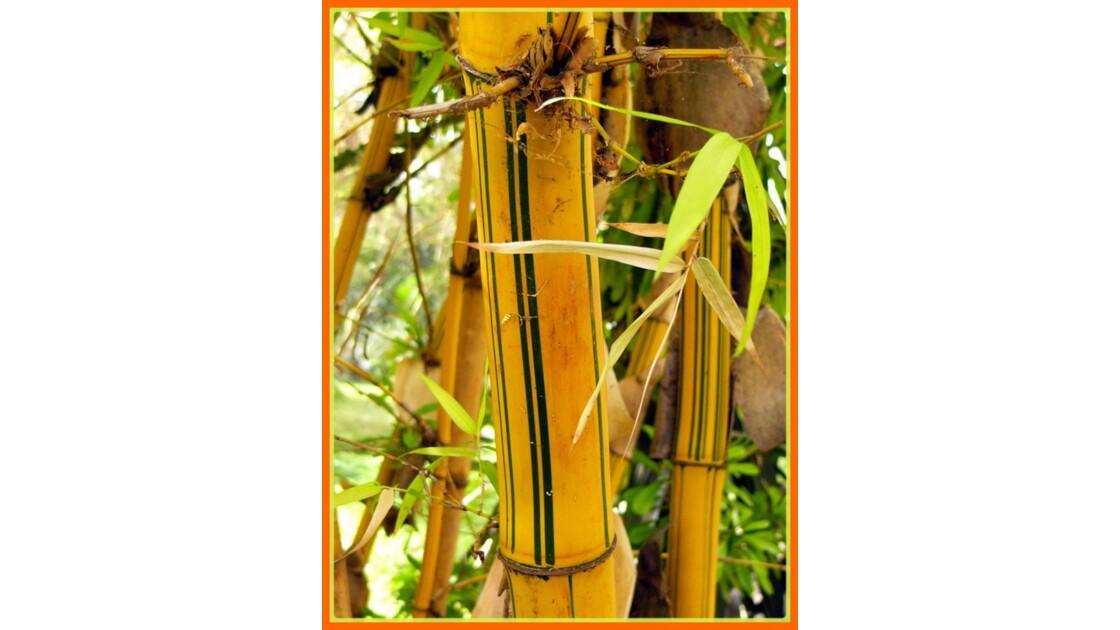 bambou_aurosulcata_spectabilis