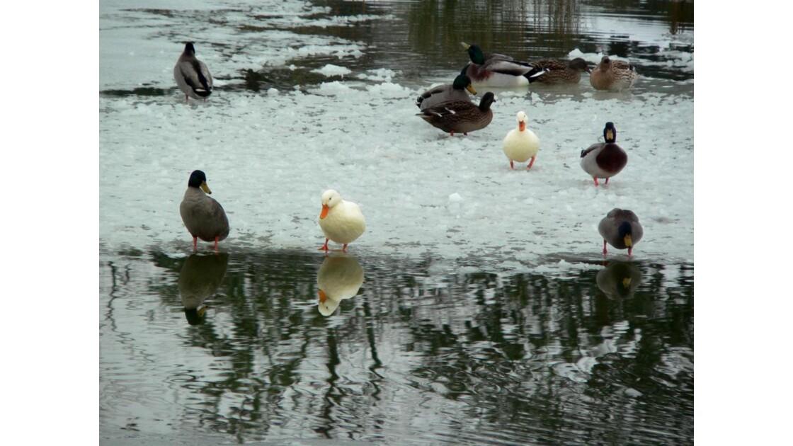 Canards et reflets