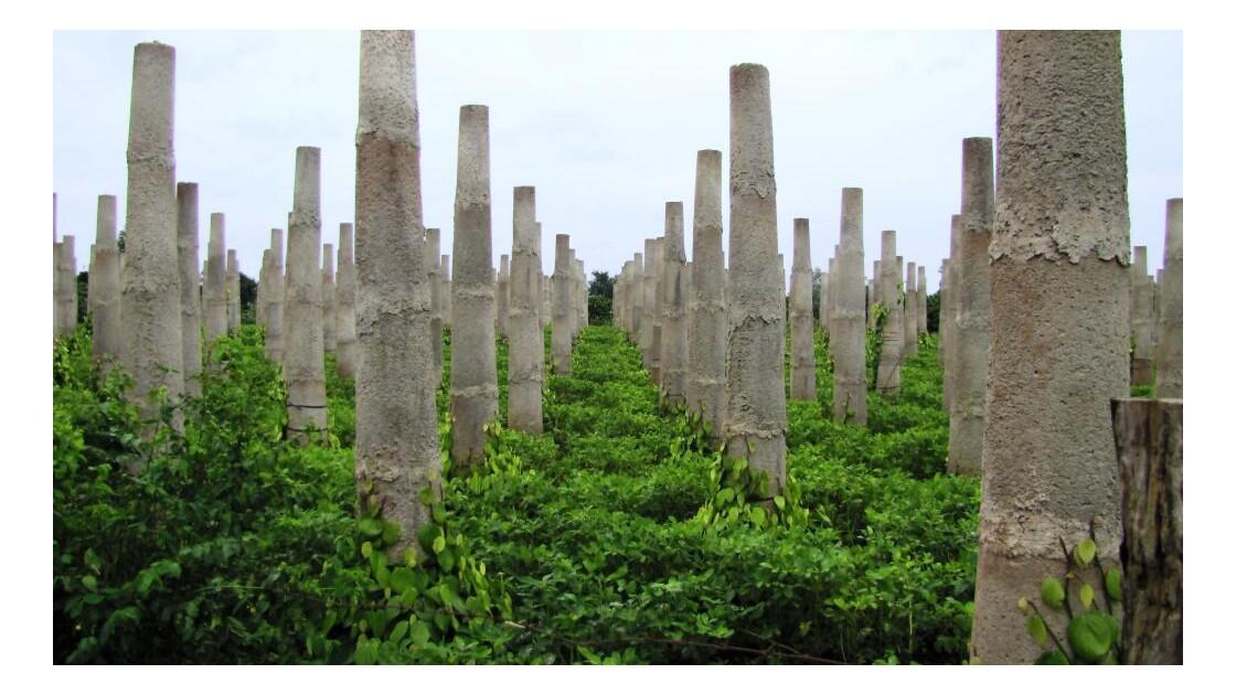 Jeune plantations de poivre.