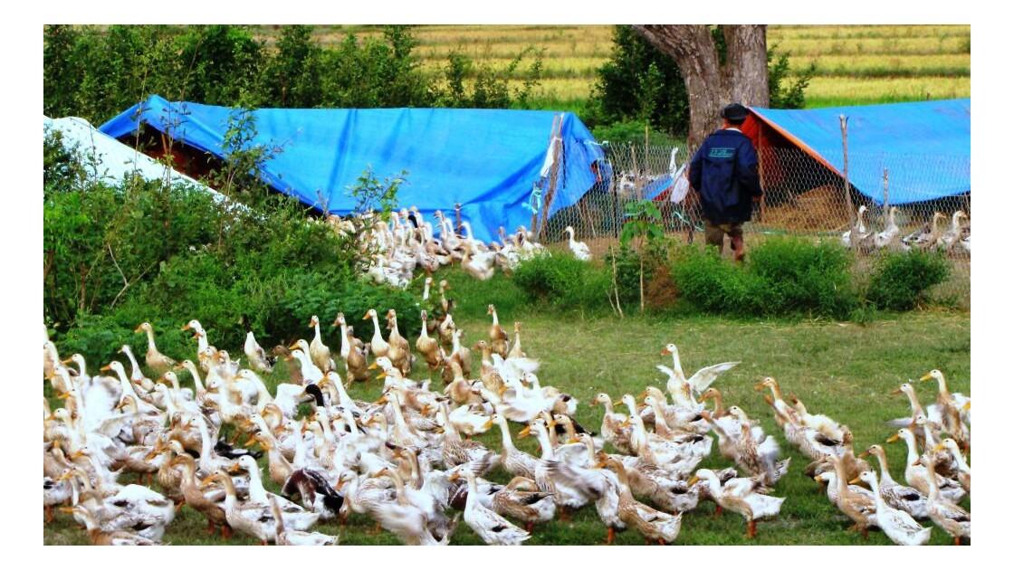 L'armée des canards des champs de riz