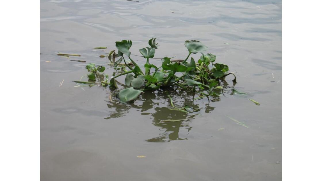 jacinthe d' eau