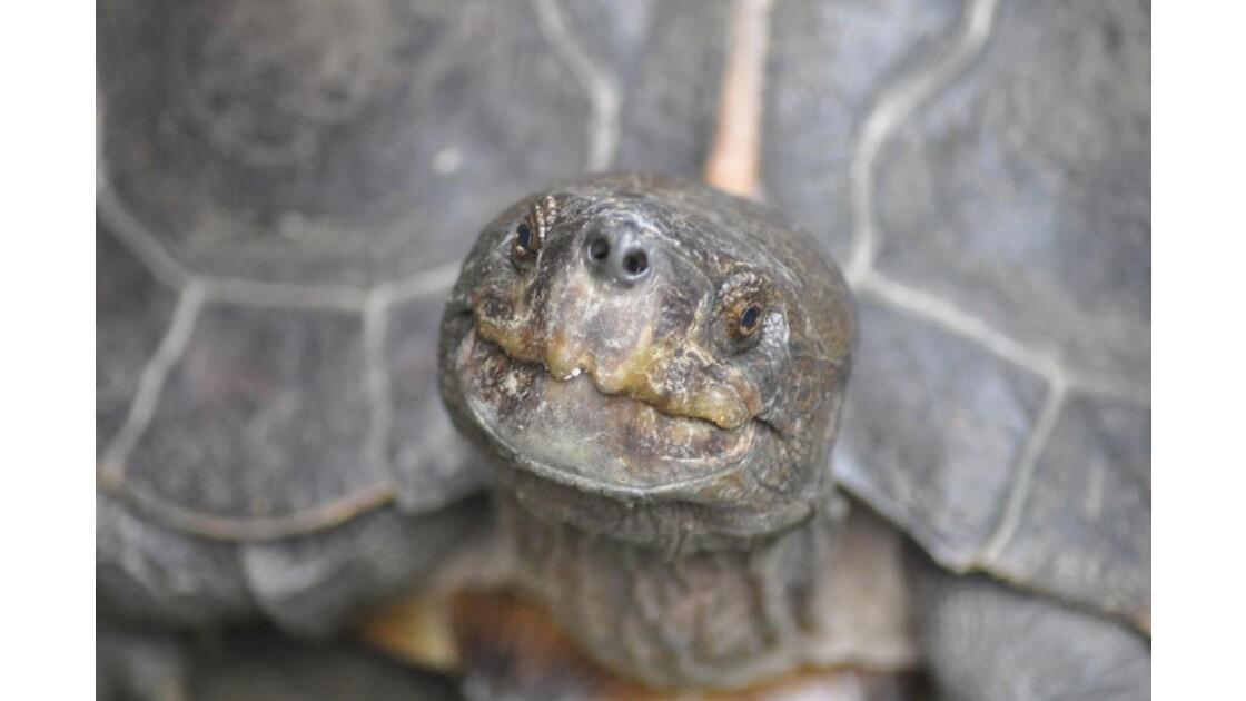 Le sourire de la tortue vietnamienne