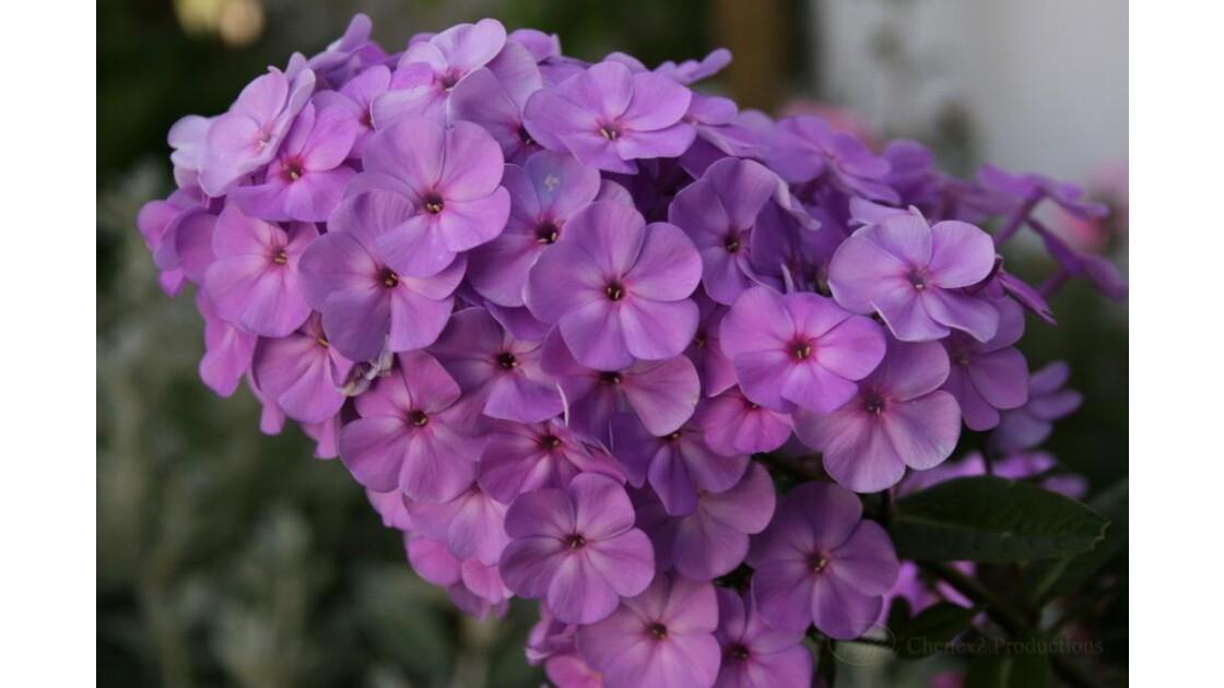 Bouquet_bleu_A_Echilais_Fr07__134_Ch2.j
