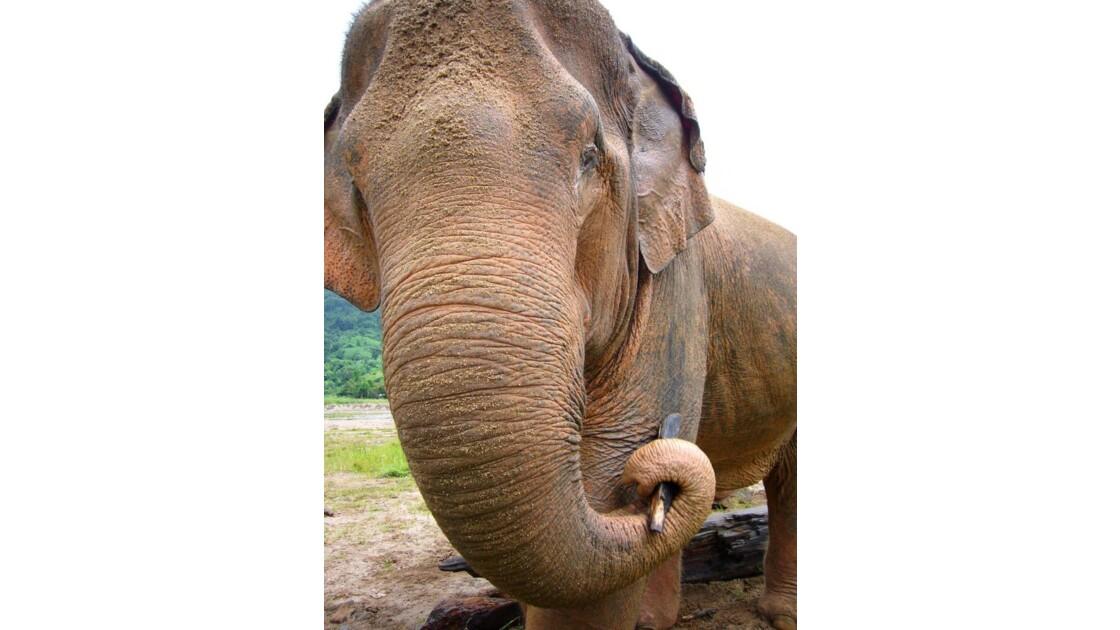 Elephant blanc