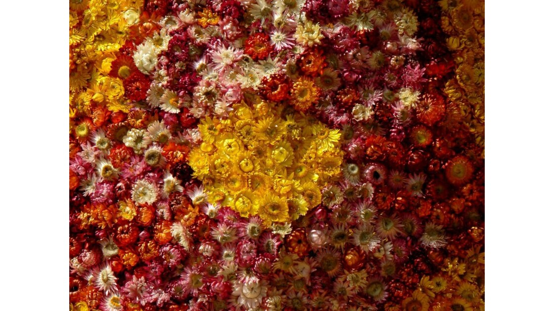 Chrysanthèmes - Dalat - Vietnam