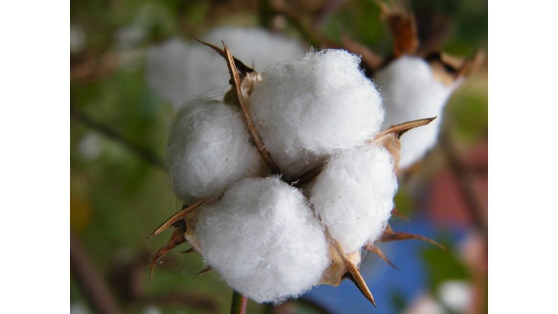 coton 2