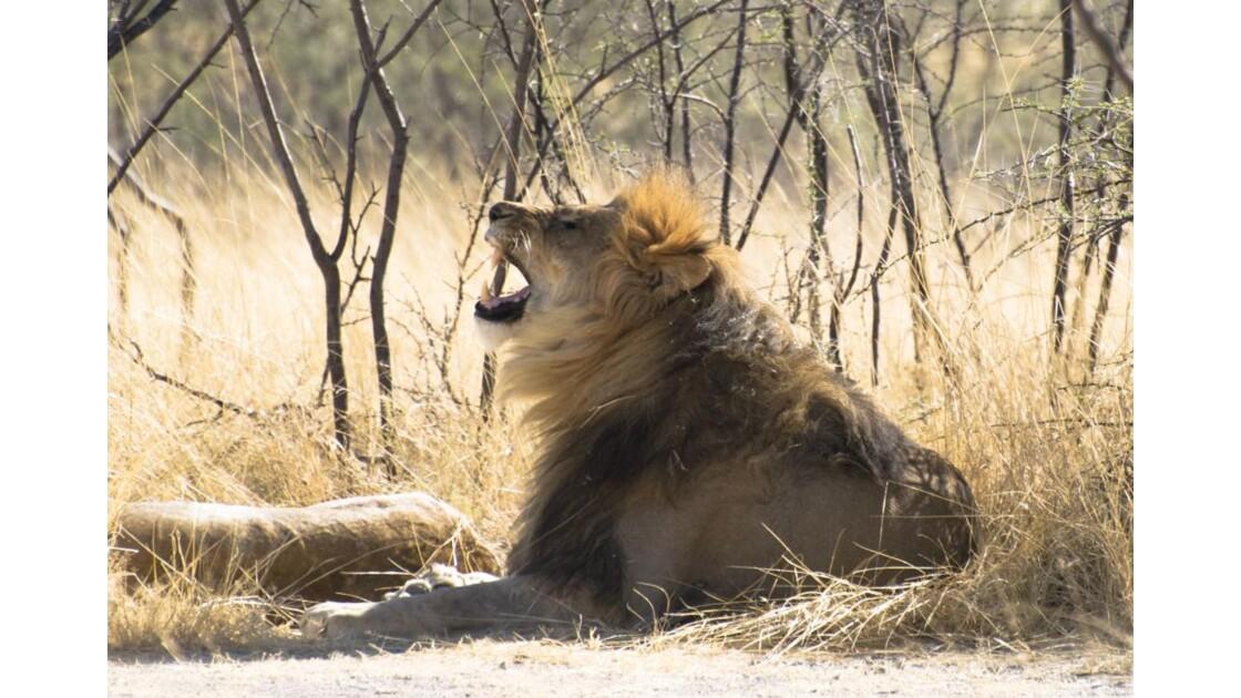 Lion._Etosha.