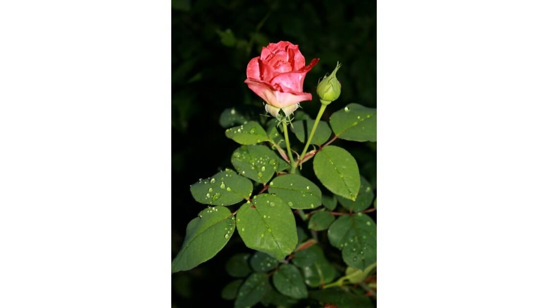 rose et son bourgeon
