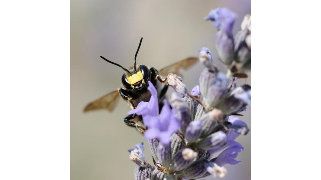 Mâle d'abeille cotonnière