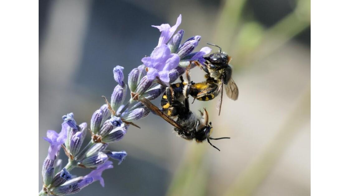 Couple d'abeilles cotonnières