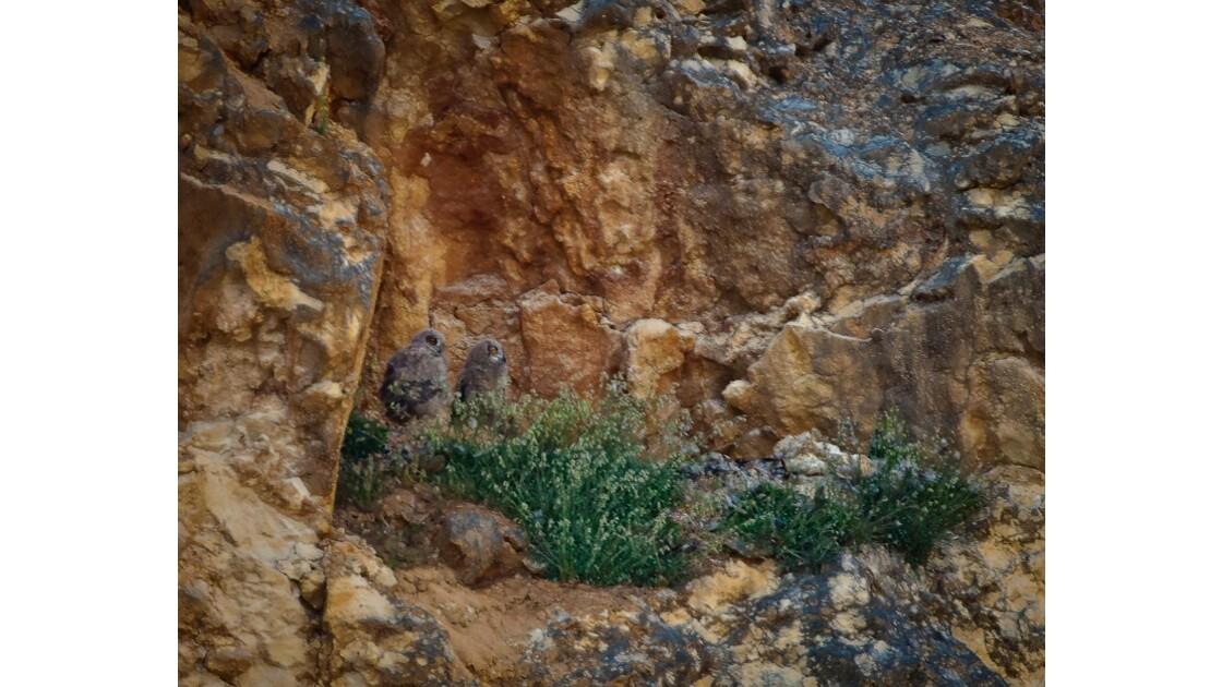 Jeunes hiboux grand duc au nid