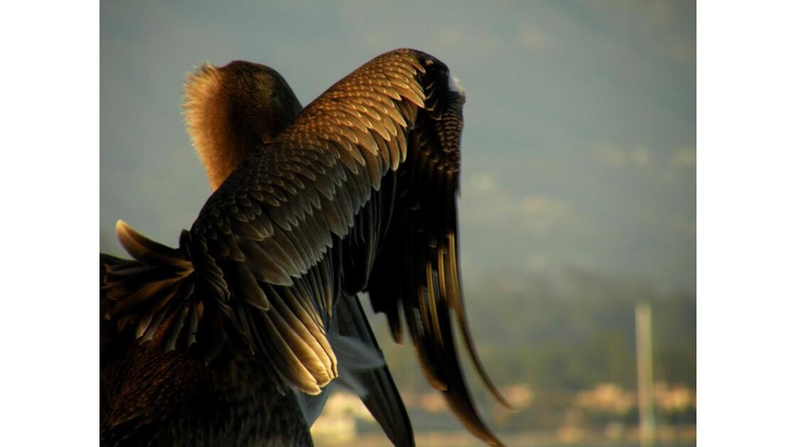 Pelican, Santa Barbara pier, CA, USA