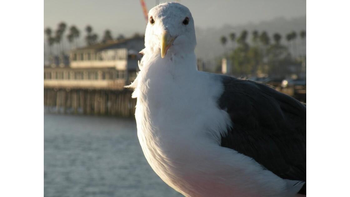 Mouette, Santa Barbara pier, CA, USA