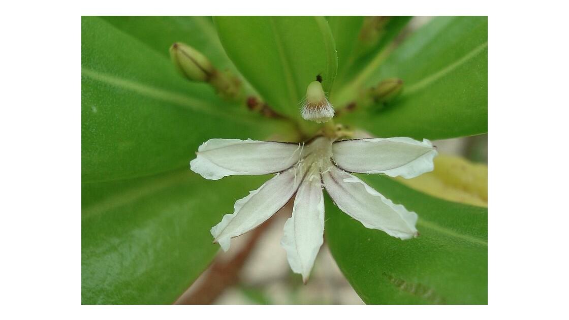 grosse patte de poule demi-fleur