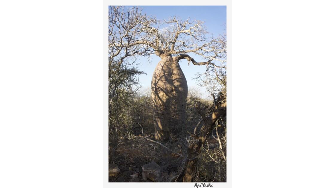 baobab de plus de 1000 ans, lui aussi