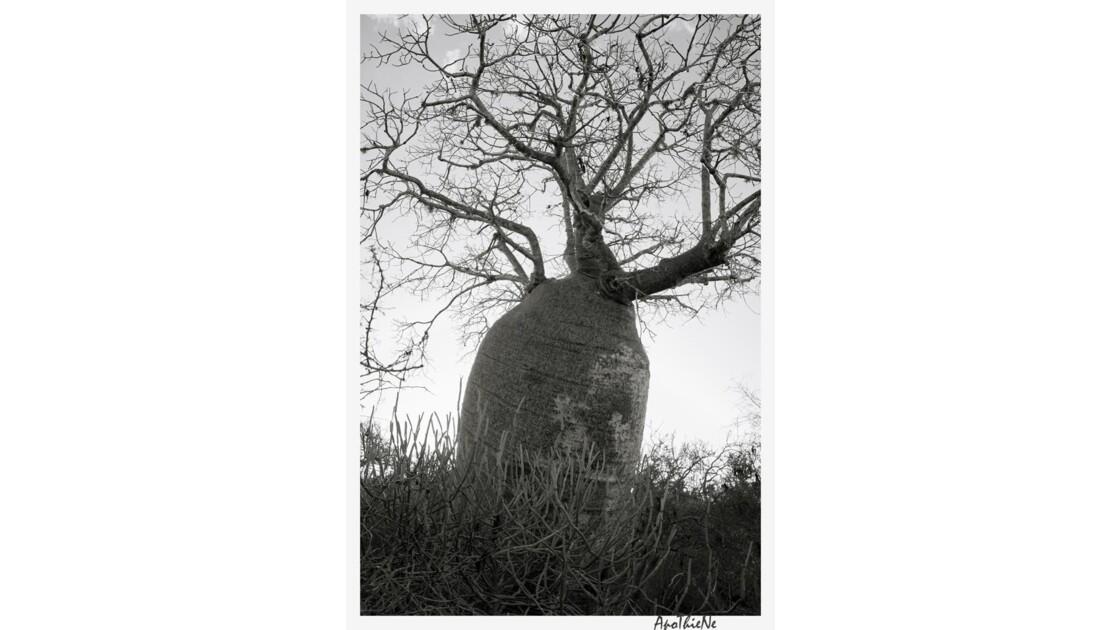 Baobab de plus de 1000 ans
