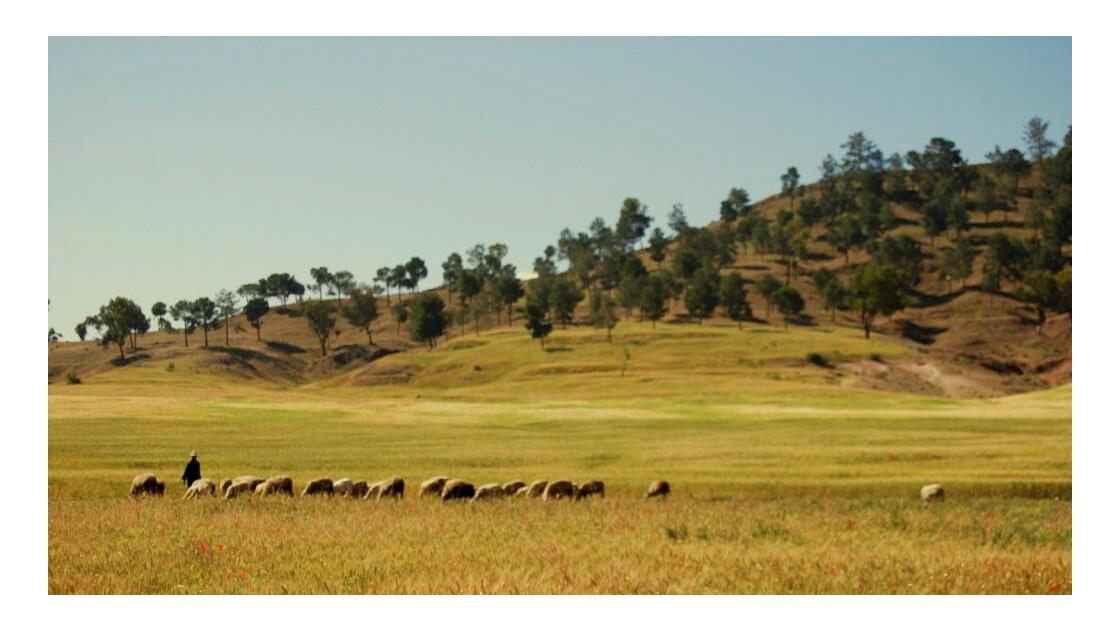 les moutons d'Arrouss