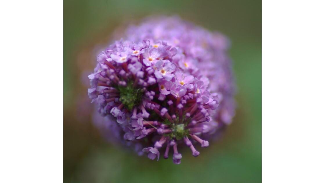 Arbre à papillon la fleurs