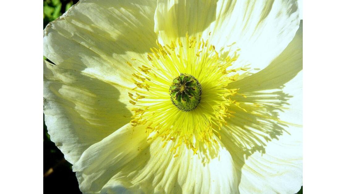 Coeur de Pavot blanc