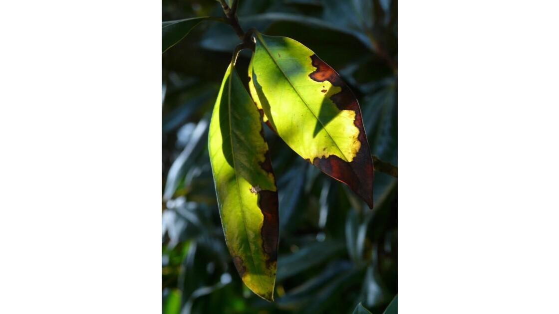 les feuilles