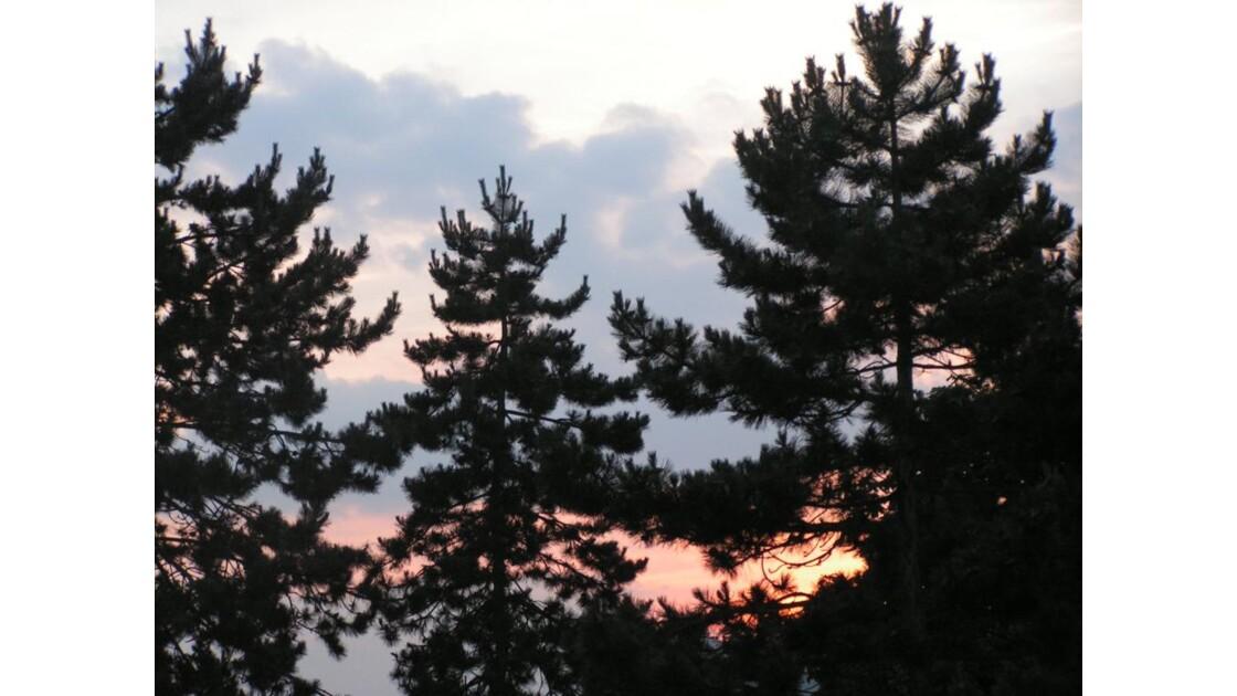 sapins au soleil couchant 3