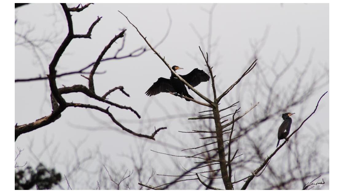 cormoran?