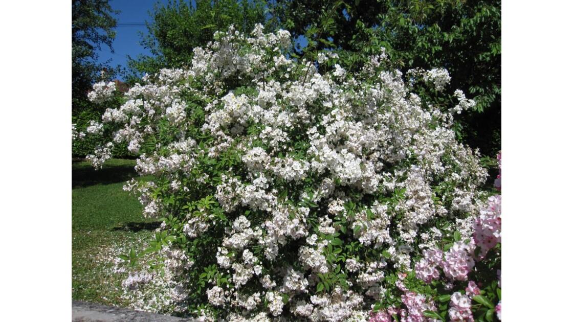 rosier liane.