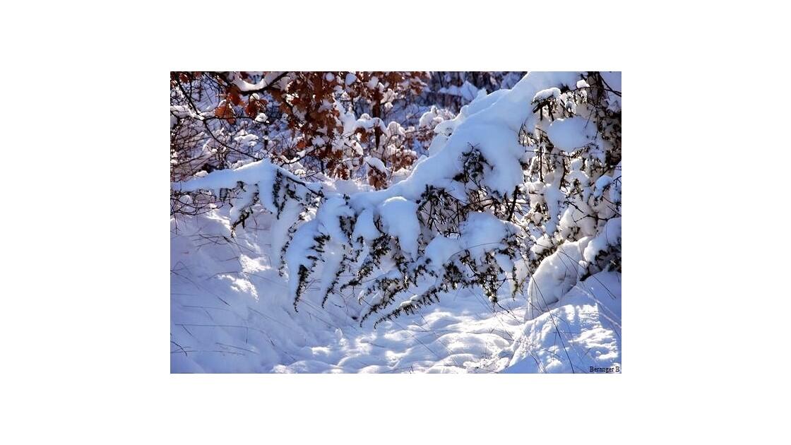branche de pin sous le poid de la neige
