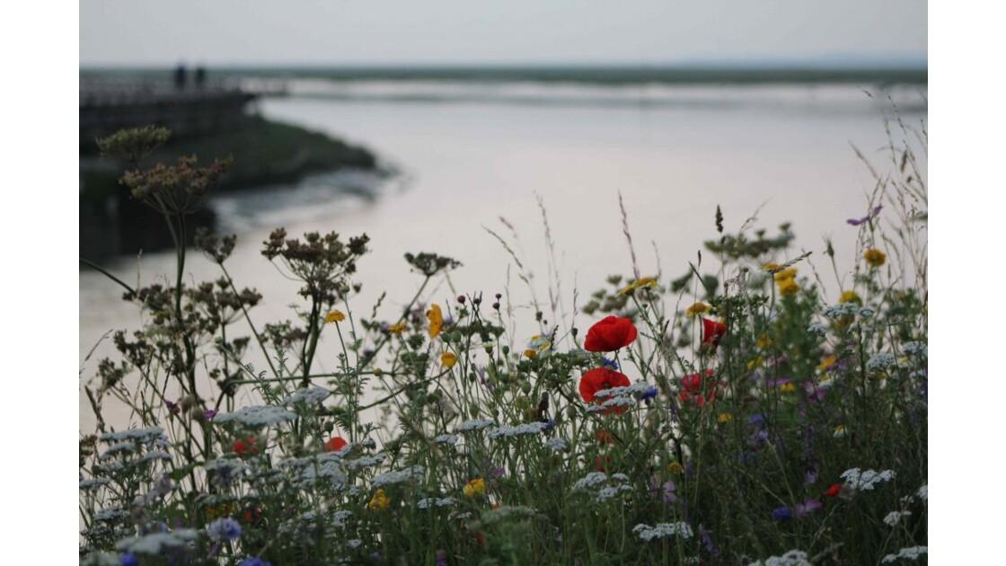 fleurs des champs en Baie de Somme
