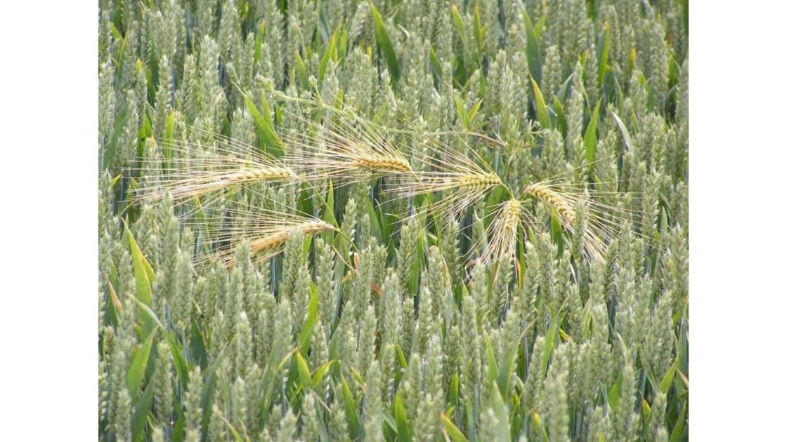 portrait d'un champ de blé