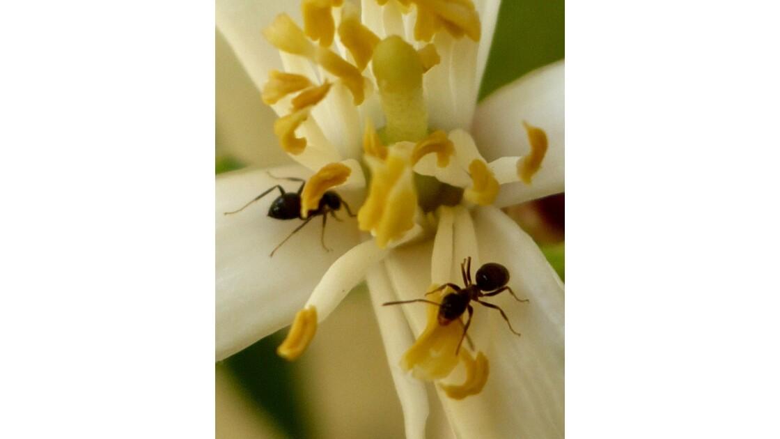 fourmies sur fleurs de citroniers !