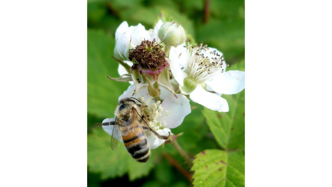 abeille sur fleurs de ronces