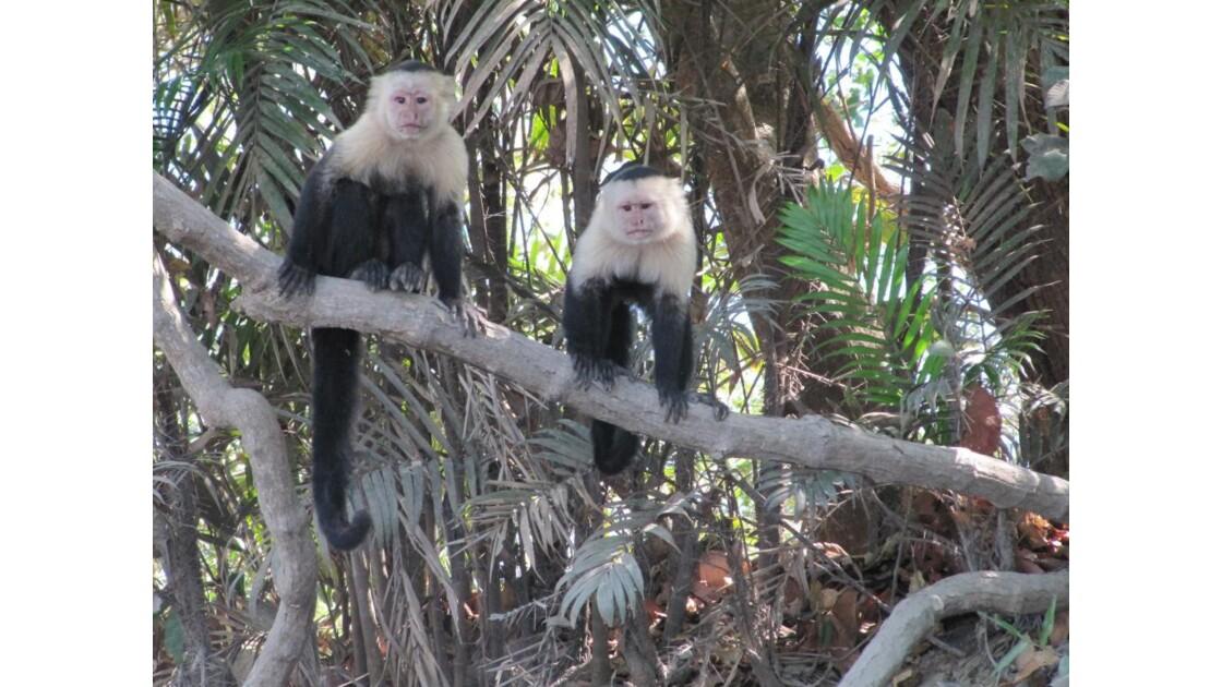 singes capucins costa-rica