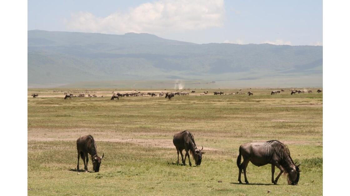 Gnous au Ngorongoro