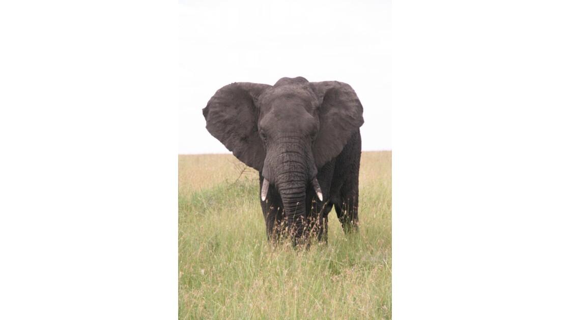 Elephant au Serengeti