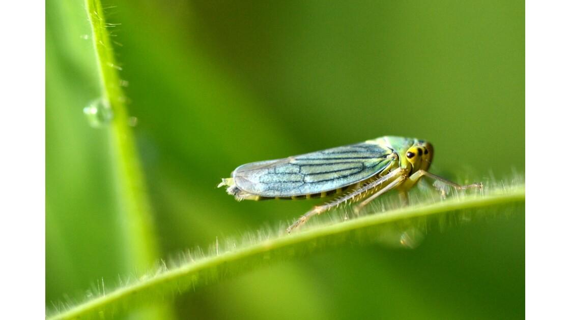 cicadelle adulte