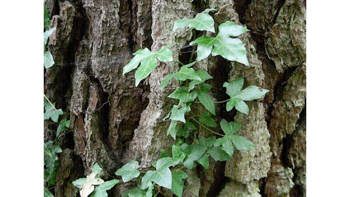 lierre sur tronc d'arbres